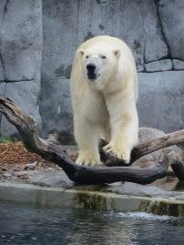 Headline grabbing polar bears. Our collective favourite.
